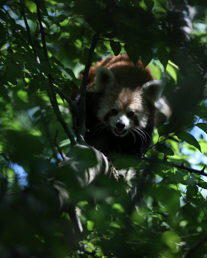 Bursada Uluslararası Kırmızı Panda Gününde Heyecanlandıran Ziyaret
