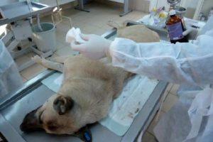 Yaralı köpek ameliyatla kurtarıldı