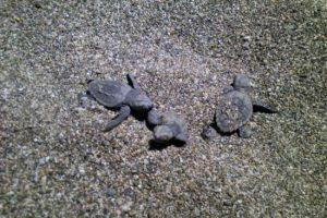 Minik kaplumbağalar yumurtadan çıktı