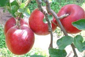İklim değişikliği elmaların tadını değiştirdi
