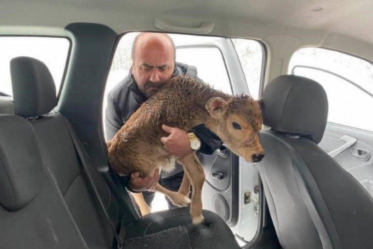 Soğuktan donmak üzere olan buzağıyı arabasına alarak kurtardı
