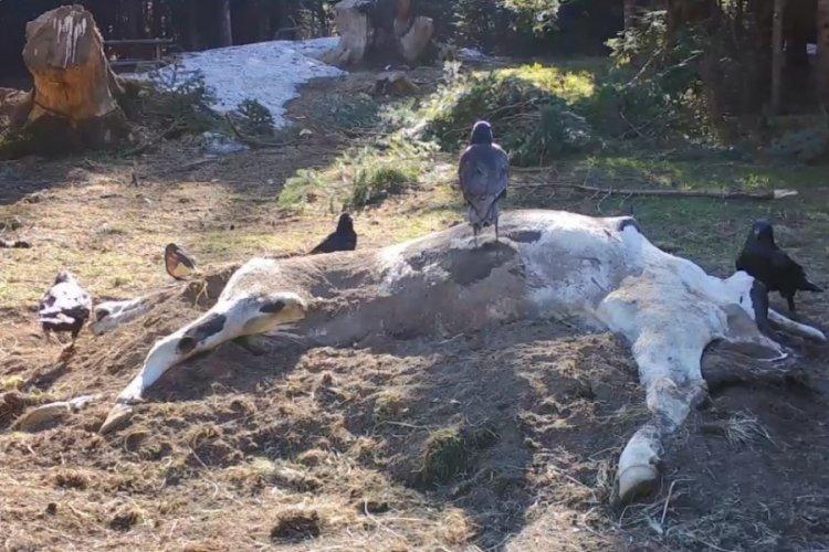 Bursa Uludağ'da çiftçinin ölen ineği ayılara verildi