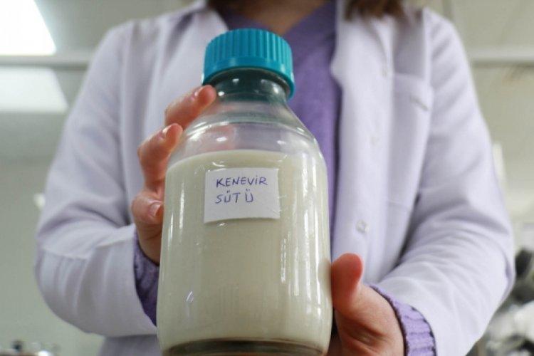 Veganlar için kenevirden süt üretildi