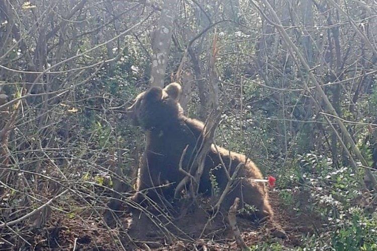 Bursa'da ormanda kapana sıkışan ayıya nefes kesen operasyon