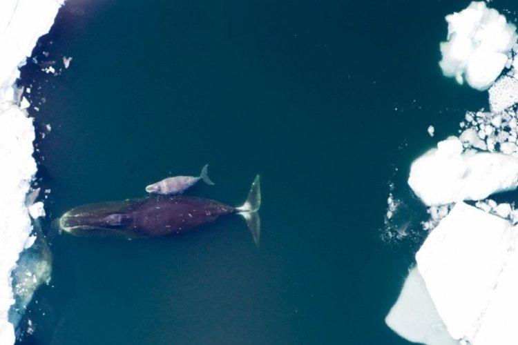Eriyen buzullar nedeniyle balinalar evine dönemiyor