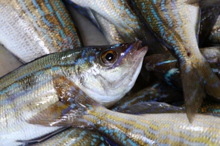 Balıkçı tezgahlarının yeni gözdesi