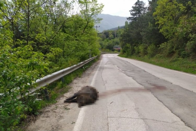 Bursa'da devasa domuz şoke etti
