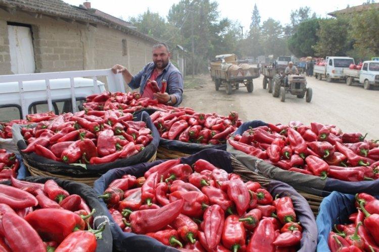 Bursa'da biber tarlada 2, pazarda 10 lira