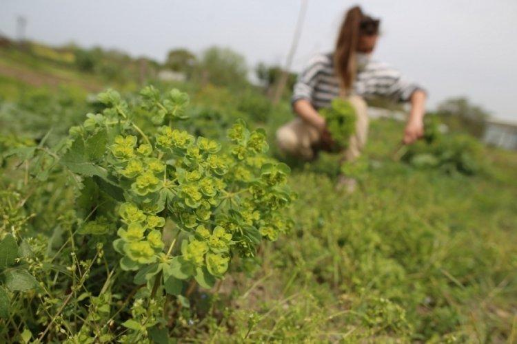 Bursa'da yerel tohum ve ürünlere doğal ilaçlama