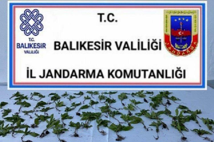 Jandarma operasyonunda 70 kök kenevir ele geçirildi