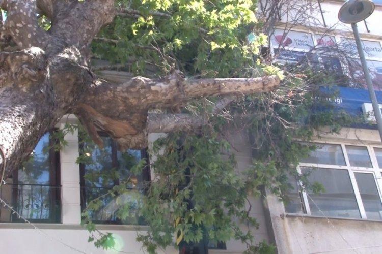 Asırlık ağaç iş yerinin çatısına devrildi