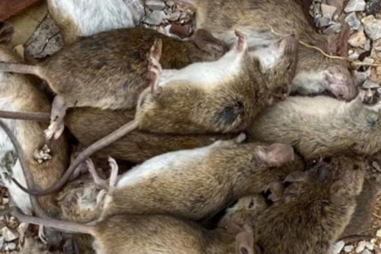 Avustralya'da inanılmaz olay: Gökten fare yağdı