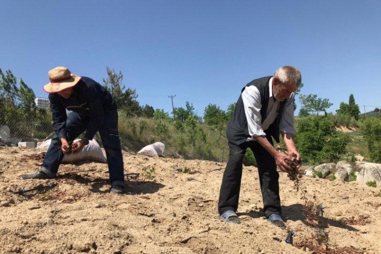 Bursa Göynükbelen Mahallesi'nde yaban mersini üretimine ORKÖY desteği