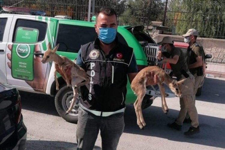 Polisin durdurduğu araçtan ceylan yavruları çıktı