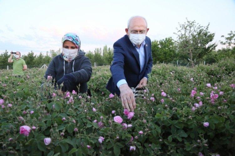 Kılıçdaroğlu, gün doğumunda işçilerle birlikte gül topladı