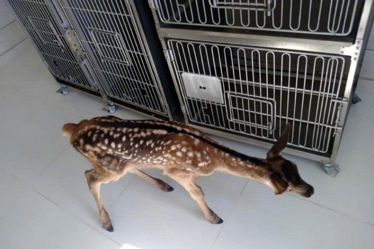 Köpeklerin saldırısında yaralanan geyik tedaviye alındı
