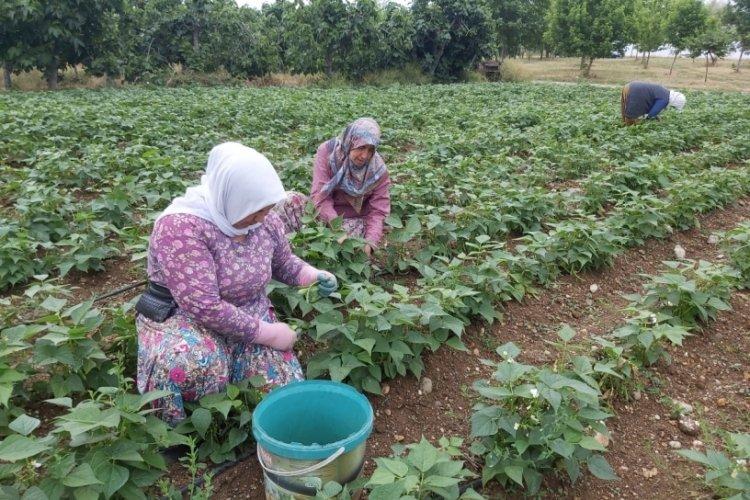 Bursa'nın meşhur fasulyesinin hasadına başlandı