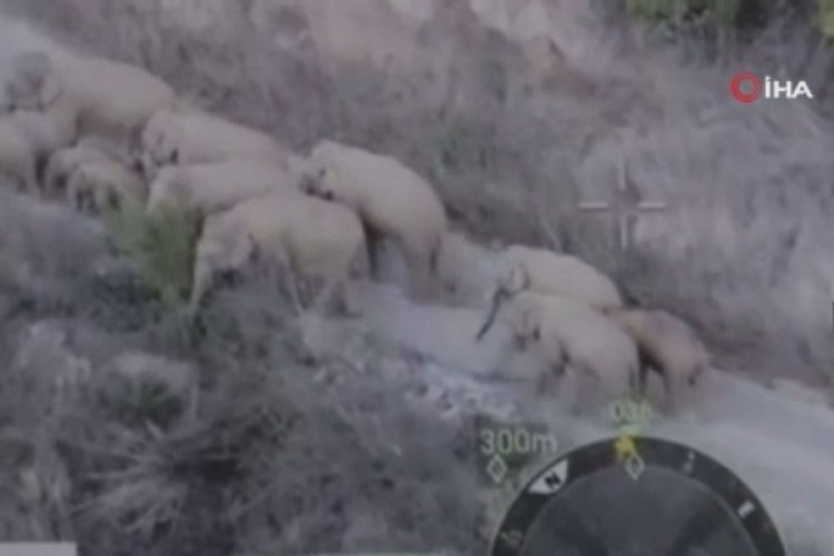 Çin'de şehir merkezine yaklaşan fil sürüsü yolları kapattırdı