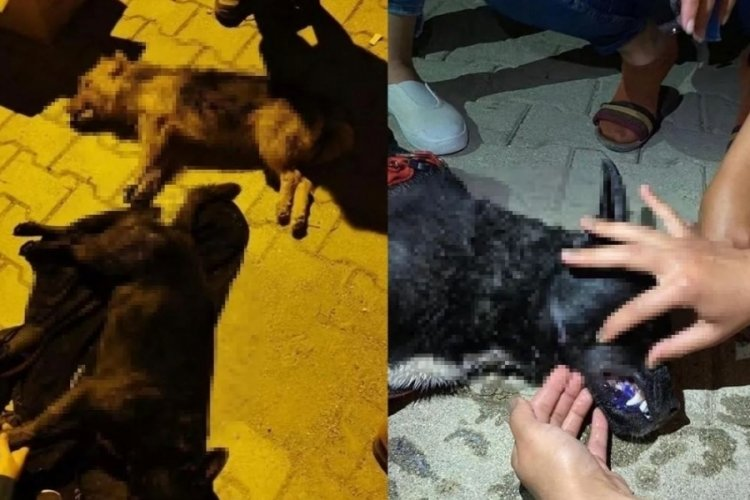 Hatay'da 5 köpek zehirlenerek öldürüldü