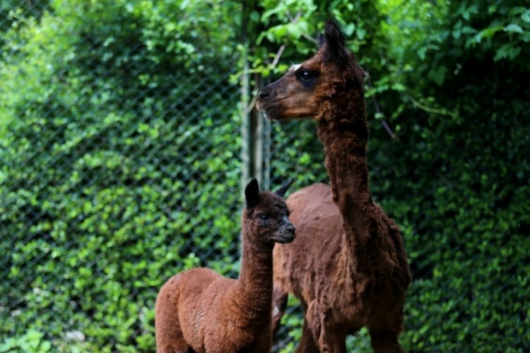 Bursa Hayvanat Bahçesi'nin yeni yavruları dünyaya geldi