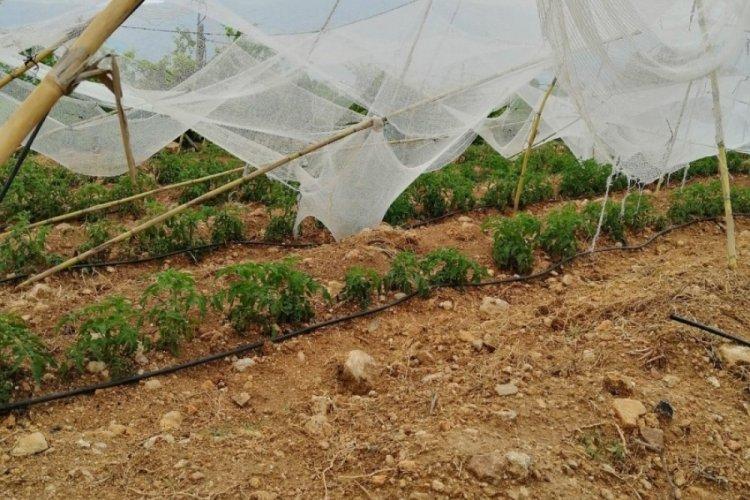 Tarsus'ta etkili olan dolu, meyve bahçelerine zarar verdi