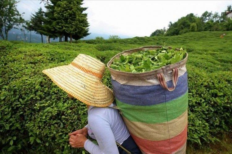 ÇAYKUR, birinci sürgün döneminde 252 bin ton yaş çay aldı