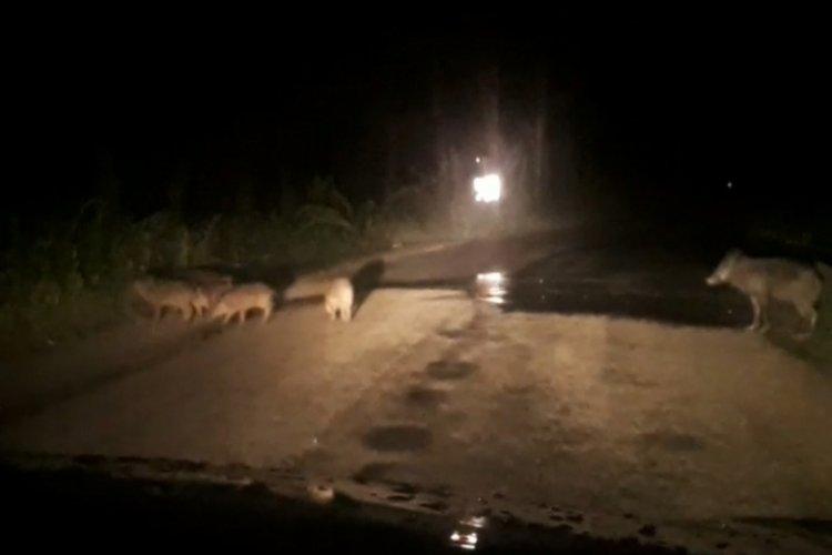 Bursa'da domuzlar şehre indi!
