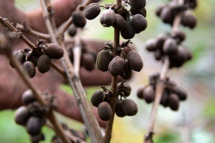 Araştırma: İklim krizi kahve ve çikolata kaynaklarını vuracak