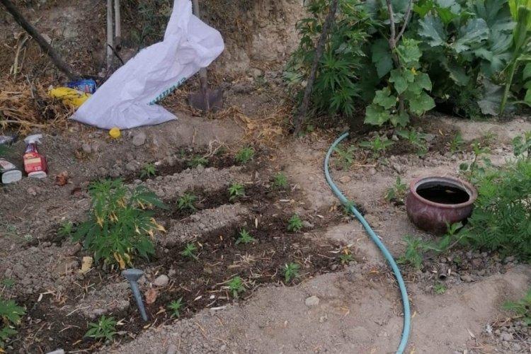 Evinin bahçesinde kenevir yetiştiren yaşlı kadına gözaltı