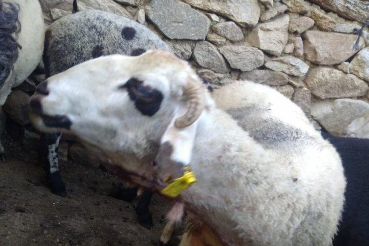 Bursa'da kurbanda satmaya hazırlandığı kuzularını kurt yedi
