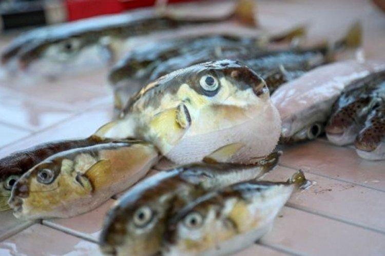 Balon balığı avcılarına destek ödemesi: Tanesi 5 lira olacak
