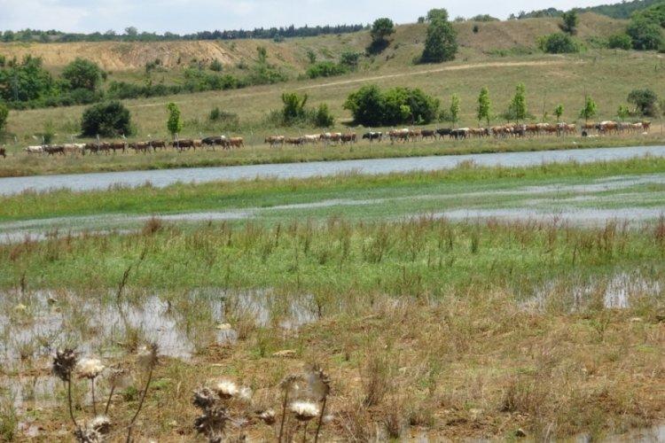 Ömerli Barajı'nda ölen balıklar iş makineleriyle toprağa gömülüyor