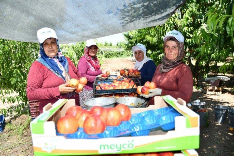 Bursa İznik'te nektarin hasadı şenlik ile başladı