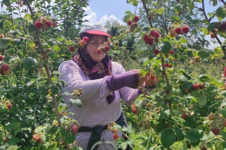 Bursa'da ahududu hasadı üreticinin yüzünü güldürdü
