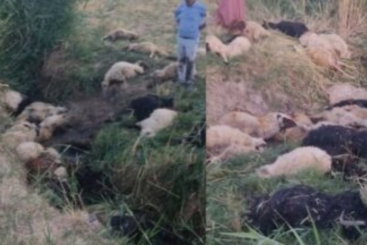 Dereye atlayan koyunu 500 koyun takip etti, sonrası korkunç!