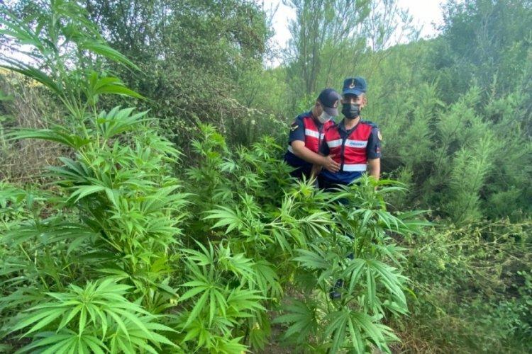 Bursa'da ormana kenevir ektiler