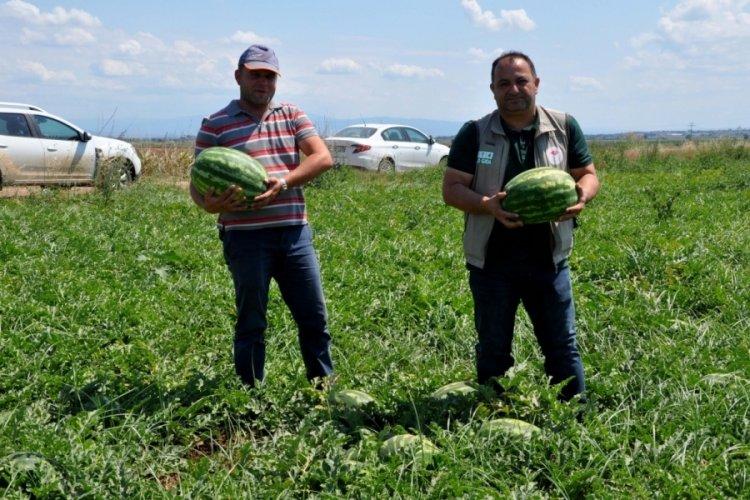 Bursa Karacabey'de karpuz hasadı başlıyor