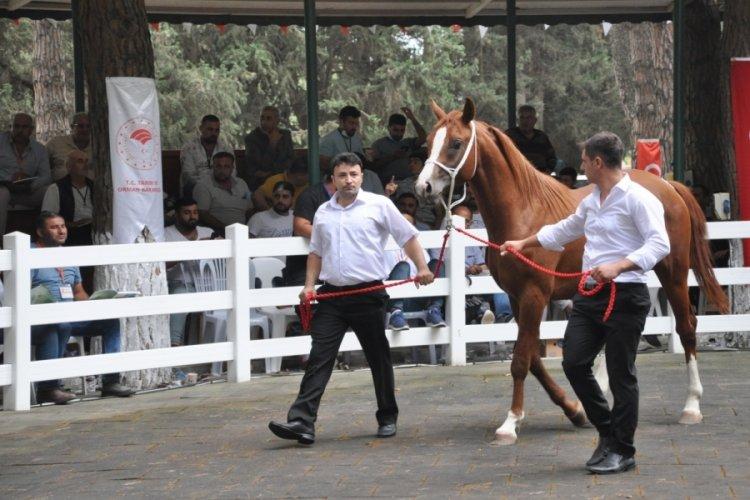 Bursa'da Arap atları açık artırmayla satıldı