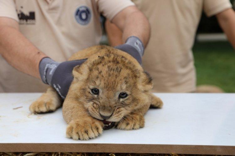 Bursa'da aslan ailesinde yavru sevinci