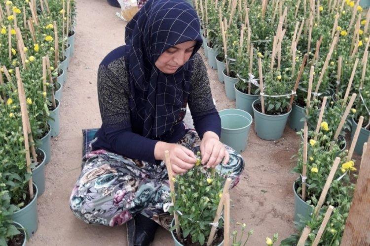 Bursa'da kadınlar çiçek tohumu üretiyor
