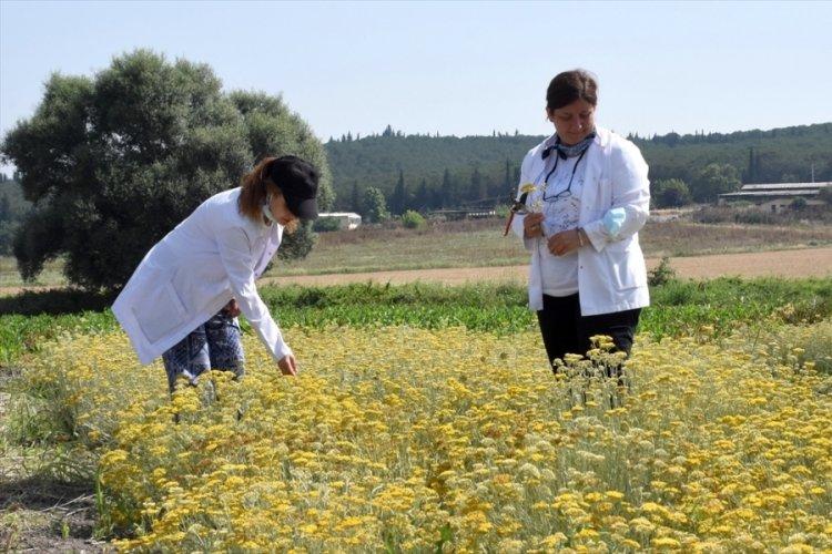 Bursa'da üniversite yerleşkesinde tıbbi ve aromatik bitki yetiştirerek eğitime katkı sağlıyorlar