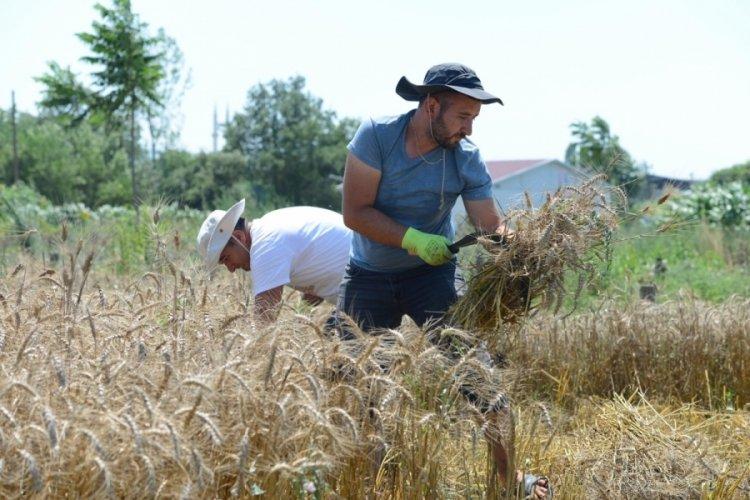 Bursa'da ekolojik buğdayda hasat dönemi