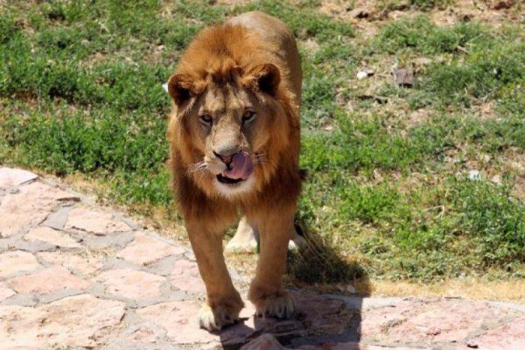 Gaziantep'te kafesinden kaçan aslan ve bakıcısının sağlık durumları iyi