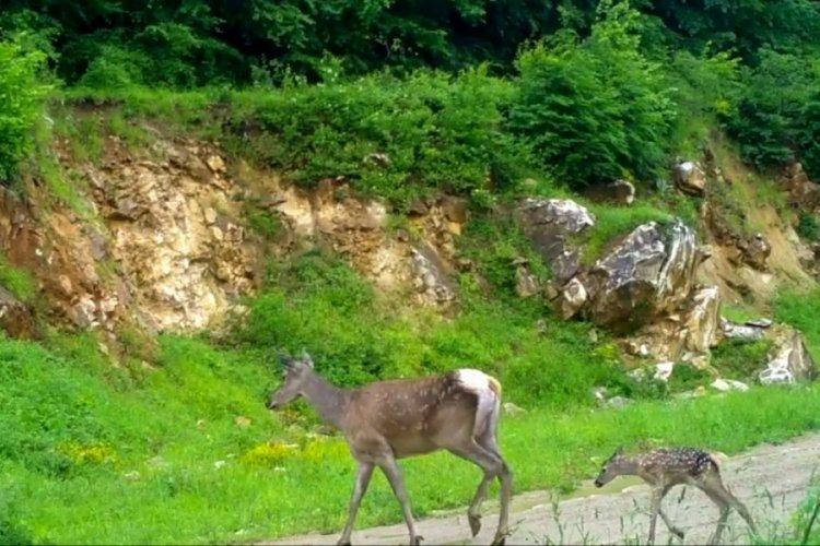 Bursa'da kızıl geyikler fotokapana böyle yakalandı