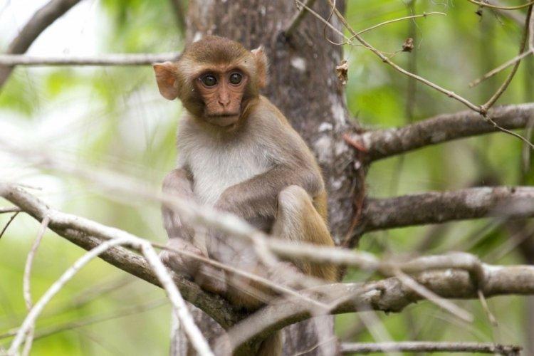 Çin'de 'Monkey B' virüsü can aldı