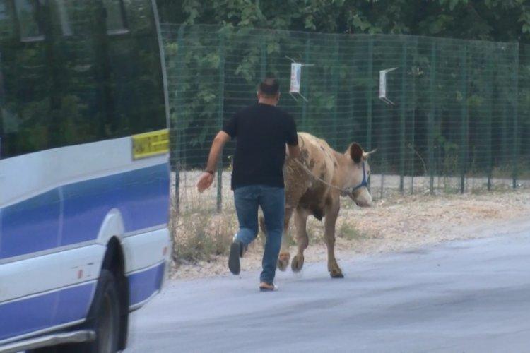 Bursa'da yolda yürürken başıboş boğa buldu