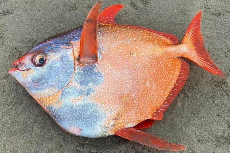 Nadir görülen Opah balığı kıyıya vurdu