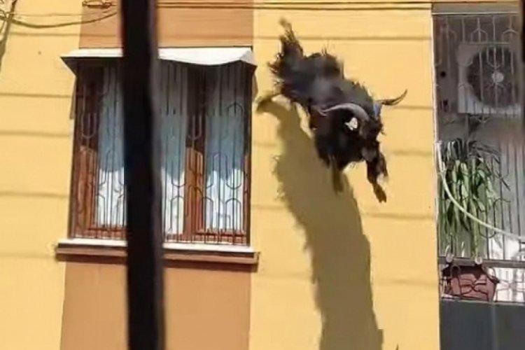 Kurbanlık keçi çatıdan uçtu
