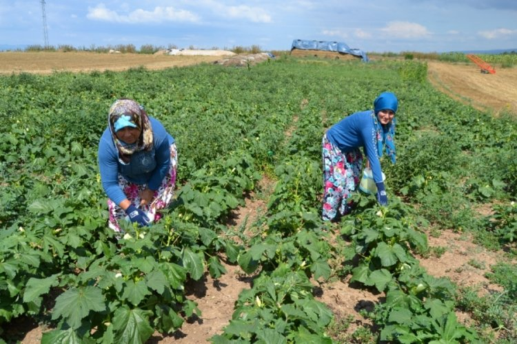 Bursa Yenişehir'de bamya hasadı başladı