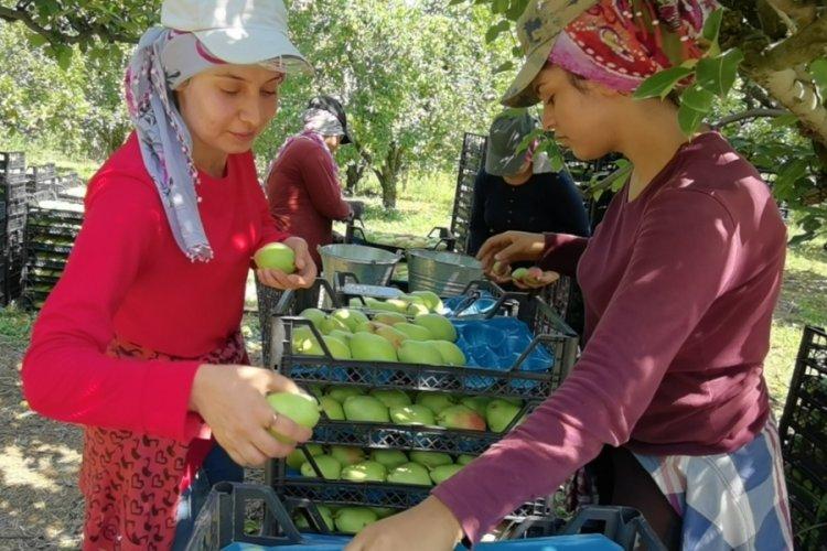 Bursa'da armut hasadı çiftçinin yüzünü güldürdü
